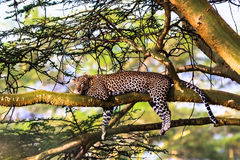 Leopard resting on a tree. Stock Image
