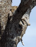 Leopard resting between the tree's branches Royalty Free Stock Photography