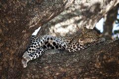 Leopard resting in tree, Serengeti, Tanzania Stock Image