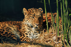 Leopard resting in the zoo Stock Images
