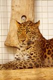 Leopard resting in the zoo's cage Stock Photography