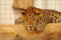 Leopard resting in the zoo's cage. Germany Stock Image