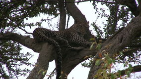 A leopard restng on a branch stock footage
