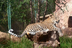 Leopard rests Stock Photography