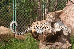 Leopard rests Royalty Free Stock Images
