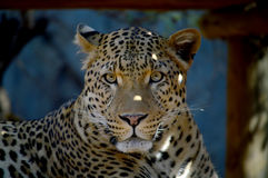 A Leopard Rests in the Shade Royalty Free Stock Images