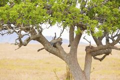 Leopard rests in tree after meal. Leopard rests in a tree after meal in Serengeti, Africa Tanzania Royalty Free Stock Photos