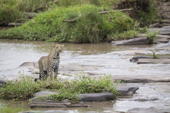 Leopard. At the river, Maasai Mara National Reserve, Kenya, Central east Africa royalty free stock image