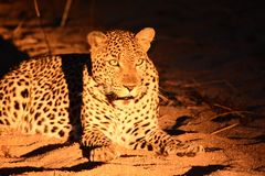 Leopard in the riverbed. Leopard laying in the riverbed just before the hunt royalty free stock photo