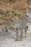 Leopard in road Royalty Free Stock Images