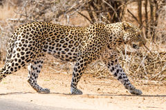 Leopard on the Road. A leopard crosses the road in Kruger National Park, South Africa Royalty Free Stock Photos