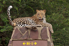 Leopard on road sign Royalty Free Stock Photos