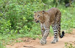 Sri Lankan leopard. Panthera pardus kotiya Royalty Free Stock Photos