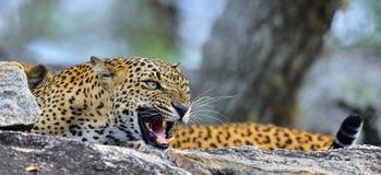 Leopard roaring. The Sri Lankan leopard Panthera pardus kotiya female. Leopard roaring. Leopard on a stone. The Sri Lankan leopard Panthera pardus kotiya female Stock Photography