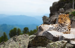 Leopard on rock Royalty Free Stock Image