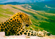 Leopard on rock Stock Image