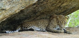 Leopard on a rock. The Female of Sri Lankan leopard Royalty Free Stock Photo