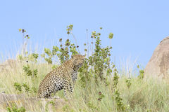 Leopard on a rock through grass Royalty Free Stock Photo