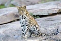 Leopard on a rock through grass. Leopard (Panthera pardus) sitting on a rock, Serengeti national park, Tanzania Stock Photography
