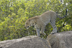 Leopard on a rock through grass Royalty Free Stock Images
