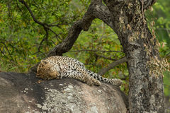 The leopard on the rock Stock Image