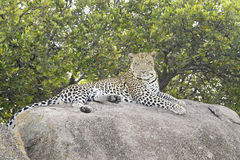 Leopard on a rock relaxing Stock Photography