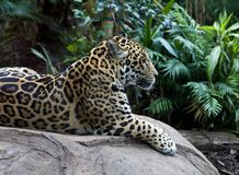 Leopard On Rock Royalty Free Stock Images