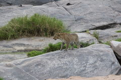 Leopard on a rock in the wild maasai mara Royalty Free Stock Photography