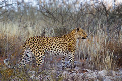 Leopard on rocks and in dry grass Stock Image