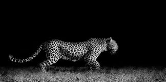 Leopard Running. Black and white image of a wild African leopard stalking Royalty Free Stock Images