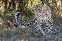 Leopard Running Stock Image
