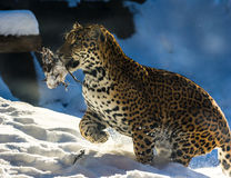 Leopard running through snow. Side view of leopard running through wintry snow with caught animal in mouth Royalty Free Stock Image