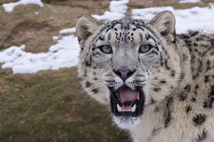 leopard s προσώπου χιόνι Στοκ Εικόνες