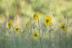 Leopards bane flower, medicinal flower in France Royalty Free Stock Image