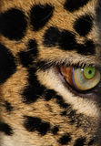 Leopard's eye. Close up of the leopard's eye Stock Photography