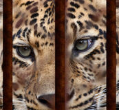 Leopard's eyes Stock Images