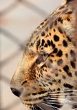 Leopard's eyes Royalty Free Stock Photo
