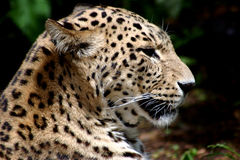 Leopards Head Stock Images