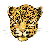 Leopard`s head lloking straight. Vector illustration on white background. Hand drawn Leopards head. Vector illustration on white background royalty free illustration