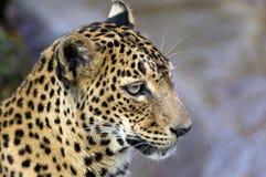 Leopard's stare. Stock Image