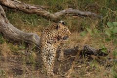 Leopard in Sabi Sand Private Reserve Stock Image