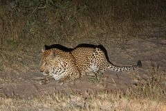 Leopard in Sabi Sand Private Reserve Stock Photos