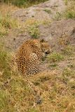 Leopard in Sabi Sand Private Reserve Royalty Free Stock Images