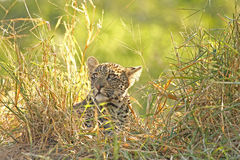 Leopard in Sabi Sand Private Reserve. South Africa Royalty Free Stock Photos