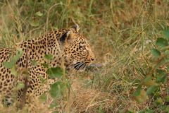 Leopard in Sabi Sand Private Reserve Royalty Free Stock Photos