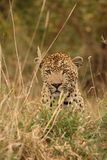 Leopard in Sabi Sand Private Reserve Royalty Free Stock Photography