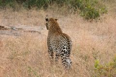 Leopard in Sabi Sand Private Reserve Royalty Free Stock Image
