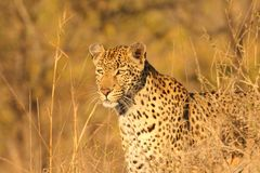 Leopard in the Sabi Sands Stock Photo