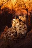 Leopard in the Sabi Sands Royalty Free Stock Photos