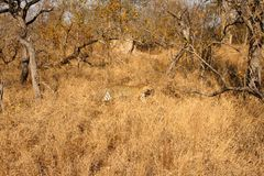 Leopard in the Sabi Sands Royalty Free Stock Photography